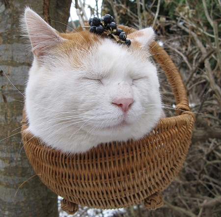 cute shironeko most content relaxed cat napping in basket pic