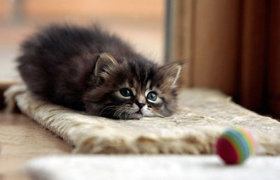 cute kitten lovely cat pic