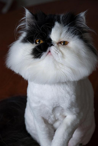 cute muffin persian kitty cat pic
