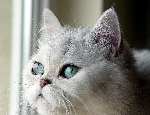 cute exotic persian cat pic