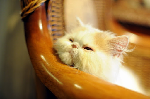 cute persian kitten napping on chair