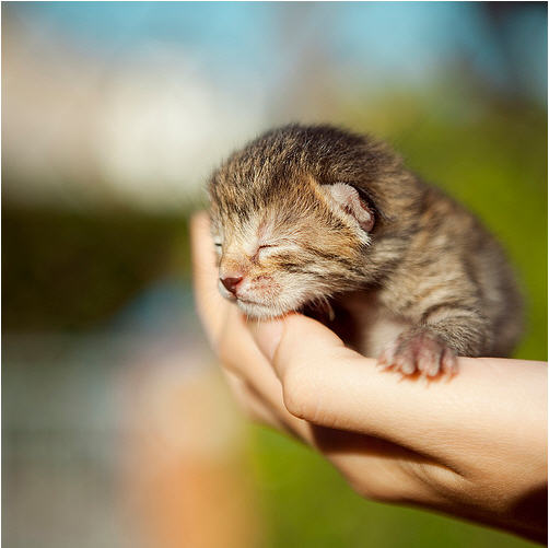 cute kitten baby in palm picture