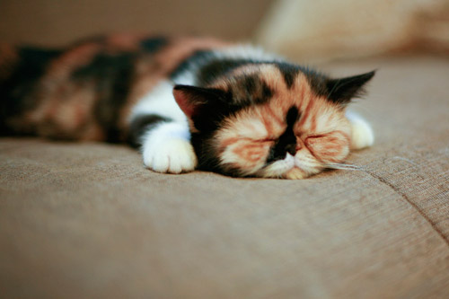 cute calico kitten napping