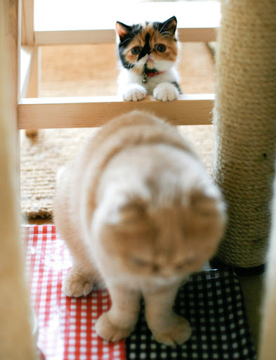 cute calico kitten standing behind