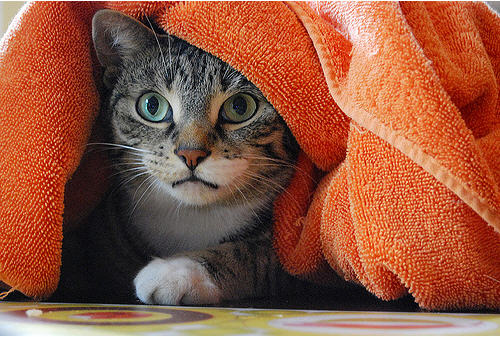 cute cat hiding under towel pic