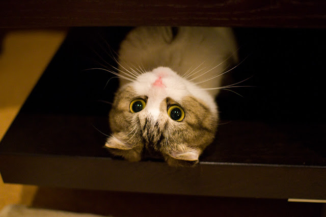 cute scottish fold kitten hiding cat pic