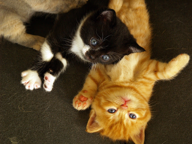 cute ginger kitten and tuxedo kitten