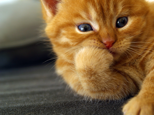 cute ginger kitten eating biting toes