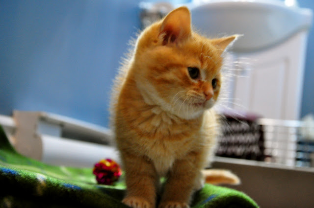 cute ginger kitten cat pic