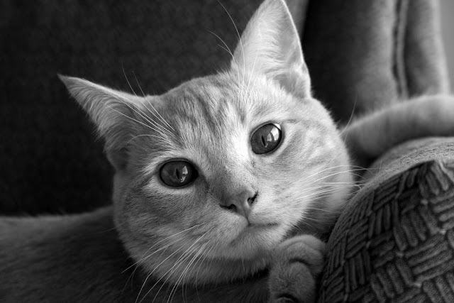 cute black and white cat with beautiful eyes pic
