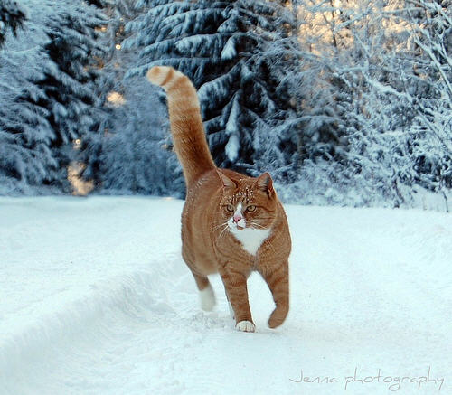 cute ginger cat walking on snow