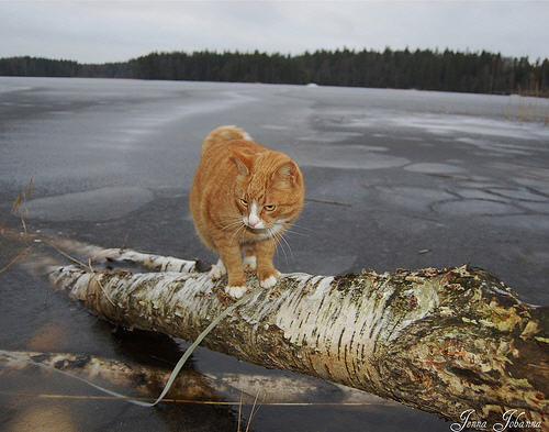 cute ginger cat walking on a log by the lake