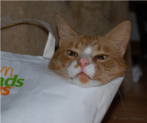 cute ginger cat hiding in bag