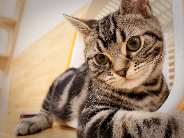 cute american shorthair cat at japanese cat cafe