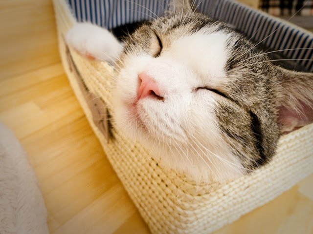 cute cat at japanese cat cafe