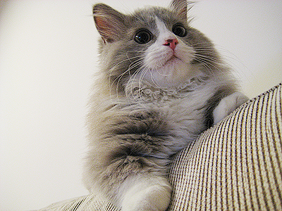cute fluffy gray and white cat