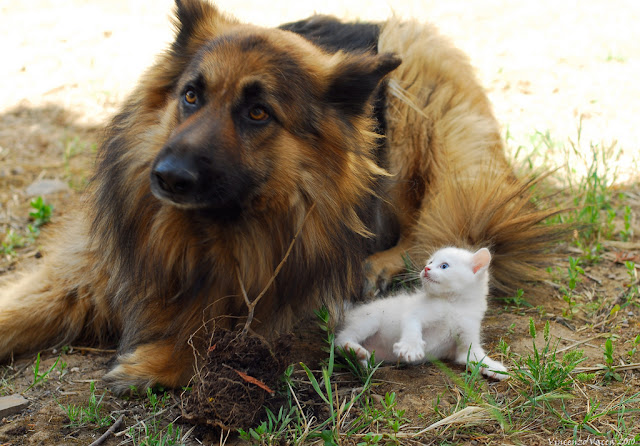 cute white kitten hanging out with german shepherd dog