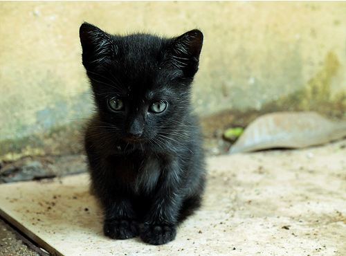 cute rescued black kitten cat pic