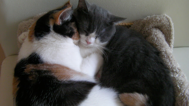 cute scottish fold cats sleeping together