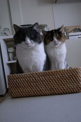 cute scottish fold cats sitting in a basket