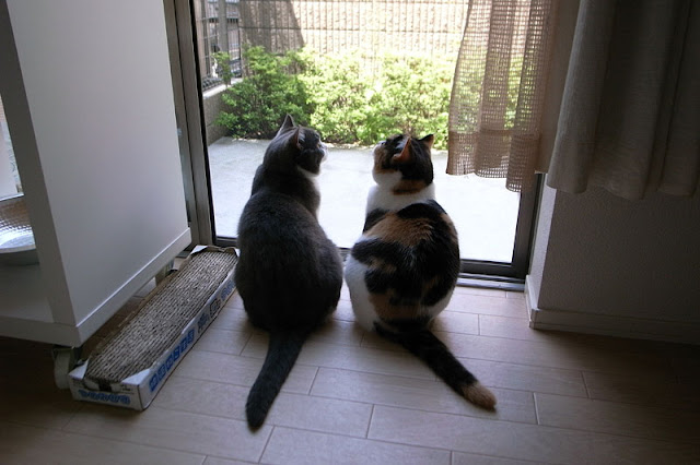 cute scottish fold cats looking out the window