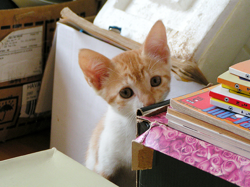 cute ginger and white kitten shy