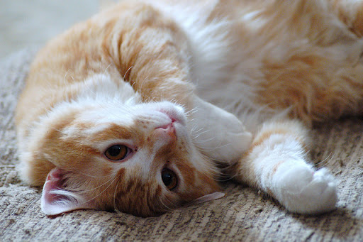 cute ginger cat
