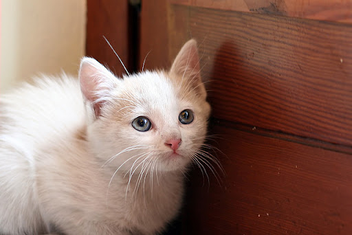 cute white kitten