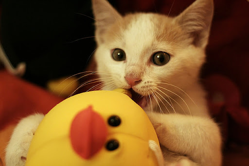cute kitten and chicken toy