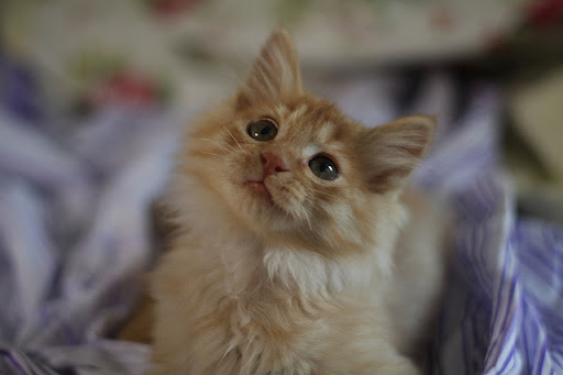 cute fluffy ginger kitten