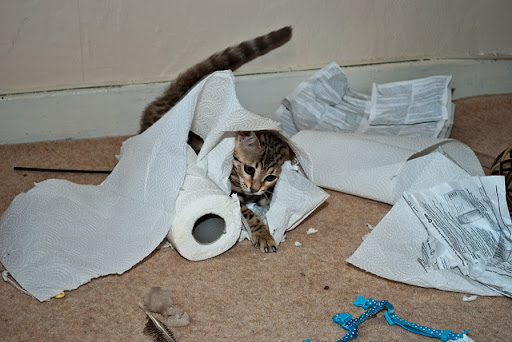 cute bengal cat tearing up paper towel