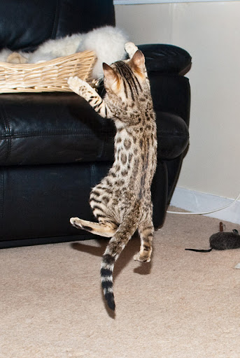 cute bengal kitten jumping