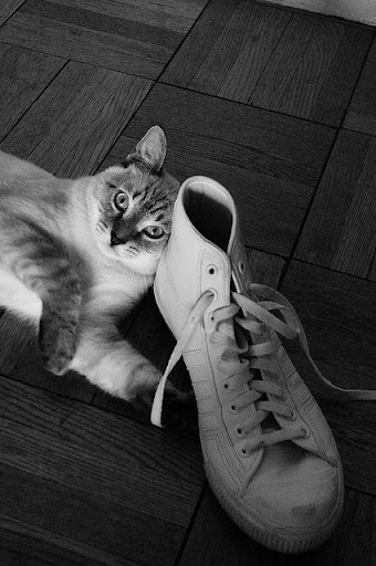 cute siamese rescued cat and shoe