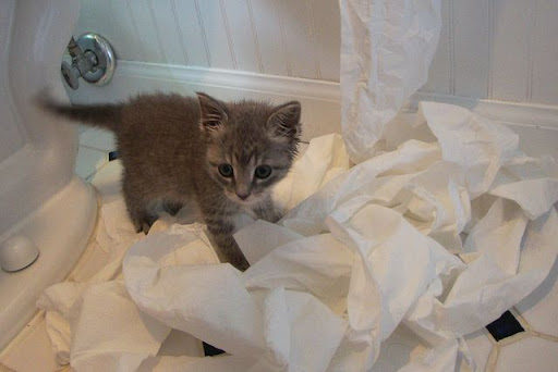 cute gray kitten plays with toilet paper