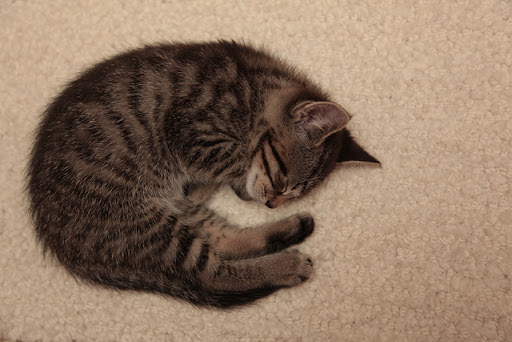 cute tabby kitten napping