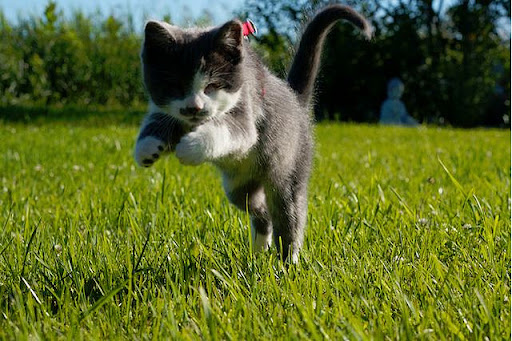 cute blind cat jack running on the lawn