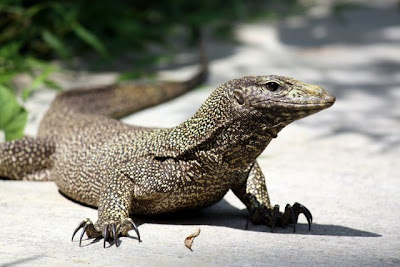 Monitor Lizard in Langkawi