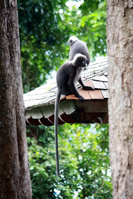 Langkawi monkeys at the Andaman hotel