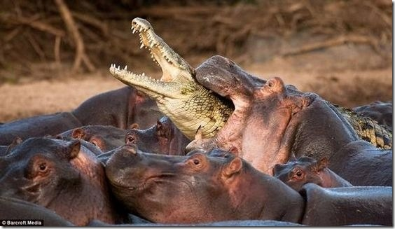 hippo-attacked-the-crocodile03