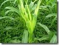 bulai jagung