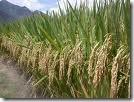padi organik