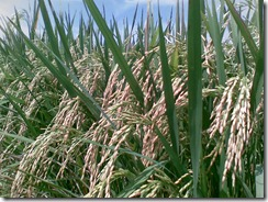 harga beras dan gabah;gerbang pertanian