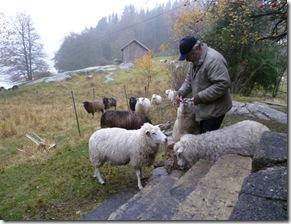 Ole med får