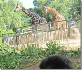 jirafas en el zoo