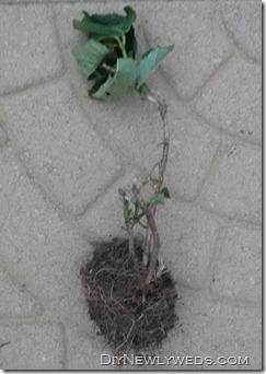hydrangea remains