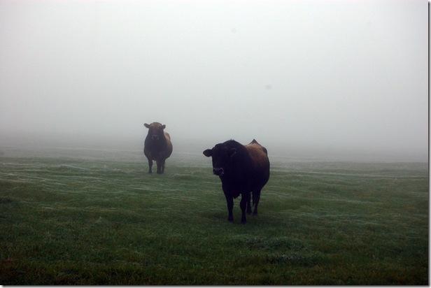 Bulls in fog