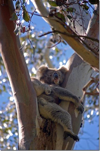 Koala 1_resize
