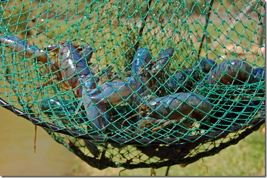 yabbies in net