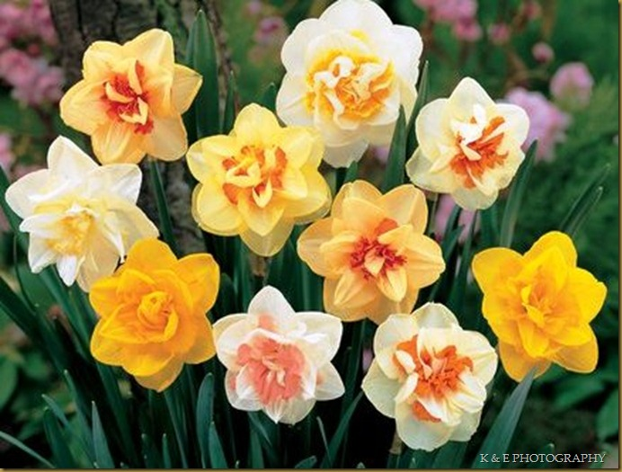 DaffodilDoubleMix