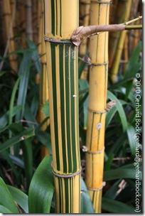 Bambusa vulgaris 'Vittata'